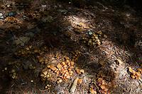 Wild mushrooms grow at Tully Lake Campground near Royalston, Massachusetts, USA.