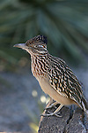 roadrunner in Rancho Mirage, CA
