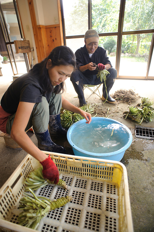 Marutou Wasabi CEO Tomoya Iida and his wife prepare freshly harvested wasabi, Shimoda, Japan, October 17, 2010.