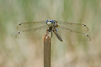 389220005 a wild male comanche skimmer libellula comanche dragonfly perches on a stick along devils river val verde county texas united states