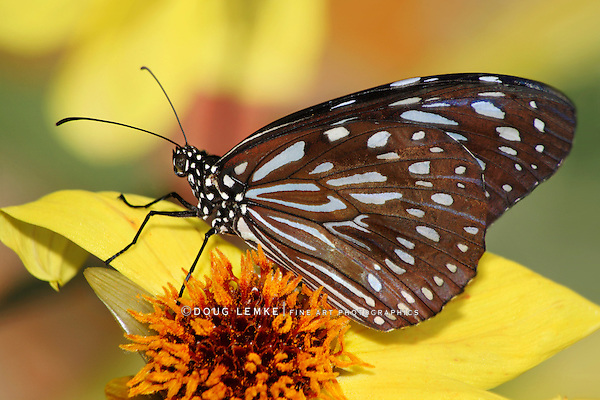 Butterfly, Blue Glassy Wing On A Yellow Flower, Danaus Vulgaris