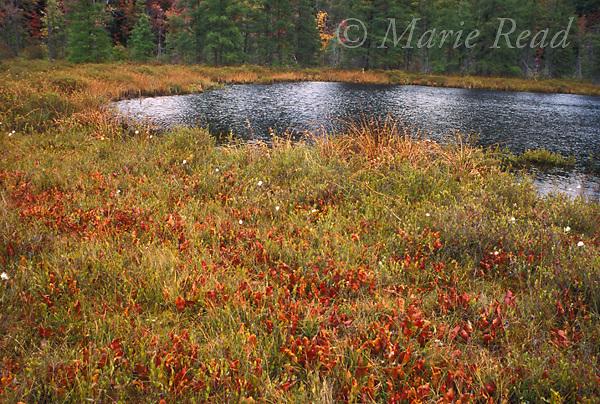Sphagnum bog in autumn showing numerous purple pitcher plants (Sarracenia purpurea), Napoli Bog, Cattaraugus County, New York, USA<br /> Slide # BogNY-317