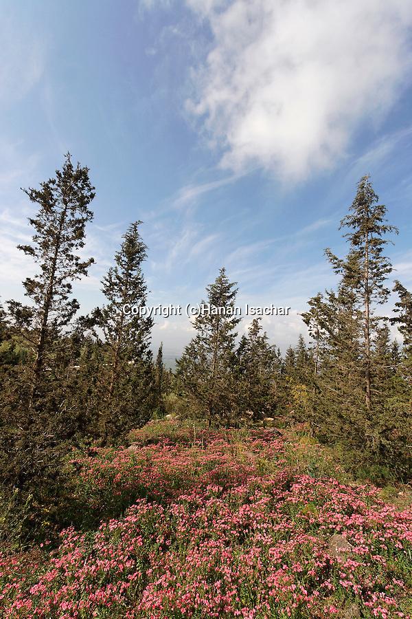 Golan Heights, Mevo Hama Forest