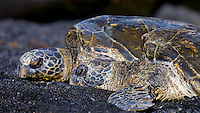 A couple of Hawksbill turtles sunbath at Punalu'u Beach on the Big Island of Hawaii