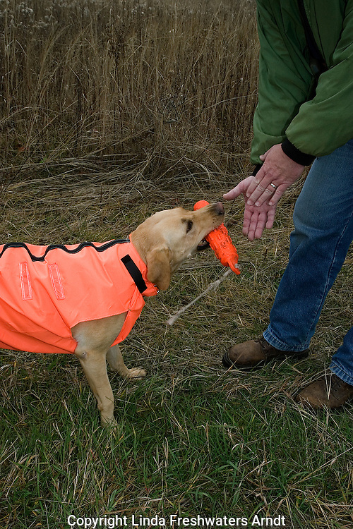 Yellow Labrador retriever (AKC) retrieving an orange dummy.  Male hand held out waiting for dog to place the dummy in his hand.  Fall.  Winter, WI.