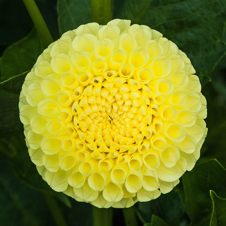 Dahlia 'Clearview Daniel', early September. A yellow Miniature Ball Group dahlia bred by Richard and Danielle Parshall of Clearview Dahlias, Washington, USA, and named after their son.