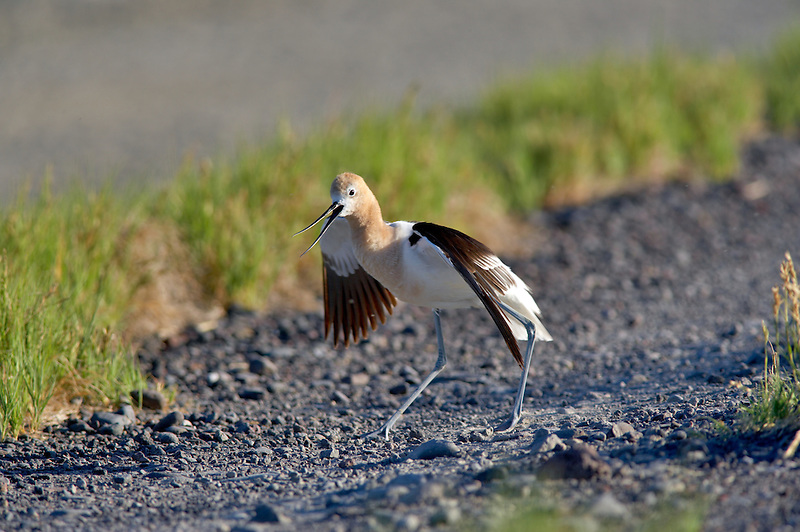 Posturing American Avocet. Summer Lake State Wildlife Refuge. Oregon