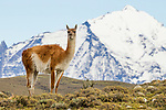 Guanaco (Lama guanicoe), Torres del Paine National Park, Patagonia, Chile