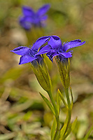 Gewöhnlicher Fransenenzian, Fransen-Enzian, Gefranster Enzian, Gentianella ciliata, Gentianopsis ciliata, Gentiana ciliata, Fringed gentian