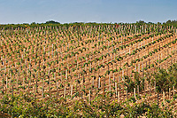 A chateauneuf du Pape vineyard on a rolling hillside. Chateauneuf-du-Pape Châteauneuf, Vaucluse, Provence, France, Europe Chateauneuf-du-Pape Châteauneuf, Vaucluse, Provence, France, Europe