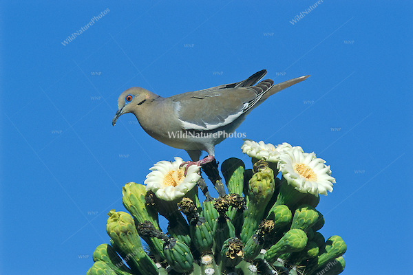 A White-winged Dove (Zenaida asiatica) feeds on the pollen of the Giant Saguaro and helps pollinate its flowers.