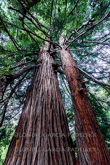 The Colonial Tree, the tallest redwood in Pfeiffer Big Sur, Scenic Highway One Coastline, California