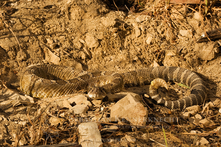 Northern Pacific Rattlesnake (Crotalus oreganus oreganus) camouflaged in rocks, Santa Cruz, Monterey Bay, California