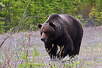GRIZZLY BEAR ursus arctos