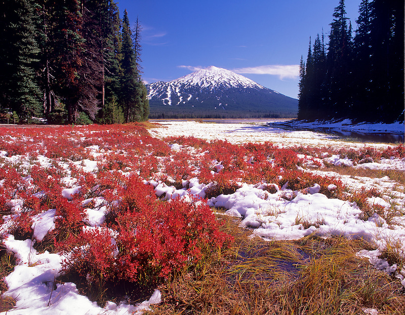 Red huckleberry with snow and Mount Bachelor. Oregon.