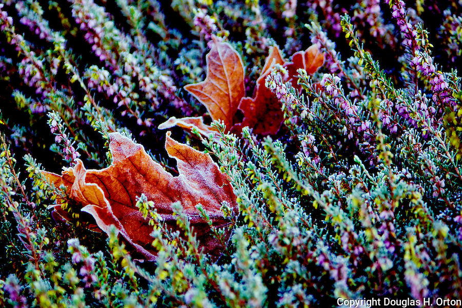 Winter blooming heather surrounds fallen maple leaves covered with frost.