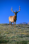 Bull American elk (Cervus elaphus) standing on the tundra, Rocky Mtn Nat'l Park, CO