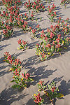 Hanford Reach National Monument, Wahluke Slope, sand dunes, Sand Dock, Rumex hymenosepalus, Columbia Basin, eastern Washington, Washington State, Pacific Northwest, USA, North America,