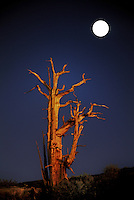 730252062 a bristlecone pine pinus longeava lit by a rising full moon in the bristlecone protected area of the white mountains in kern county california