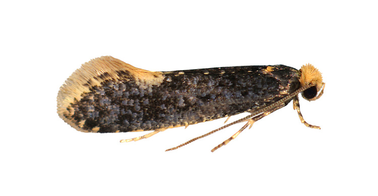 12.036 (0227)<br /> Skin Moth - Monopis laevigella