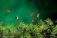 MY01-003c  Moss - reproductive structures, sporophyte
