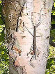 Northern Walkingstick, Diapheromera femorata, orthorptera, phasmatidae<br />