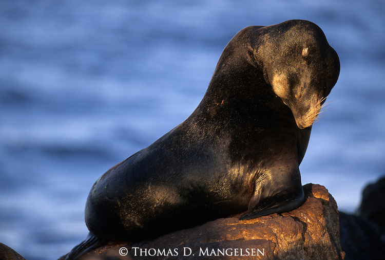 Portrait of a California sea lion sitting on a rock in Monterey Bay, California.