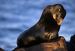 Portrait of a California sea lion sitting on a rock in Monterey Bay, California.