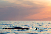 fin whale, Balaenoptera physalus, at sunset, with Maritime Alps in background, Pelagos Sanctuary for Mediterranean Marine Mammals, Ligurian Sea, Mediterranean Sea, Liguria, Italy