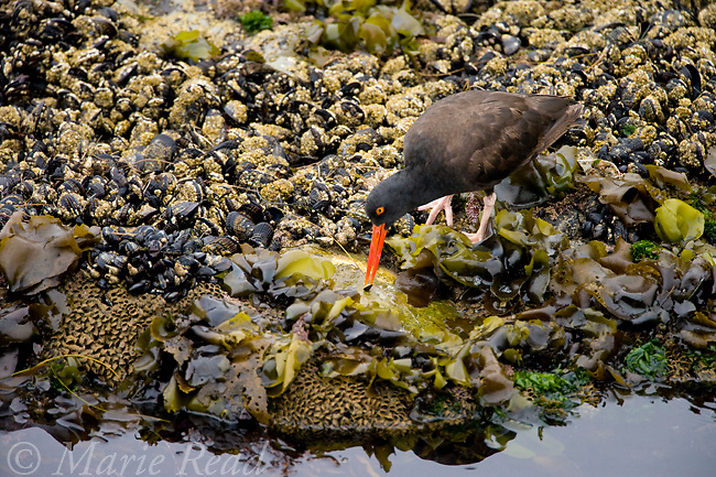Black Oystercatcher(Haematopus bachmani), feeding, Santa Cruz, California, USA