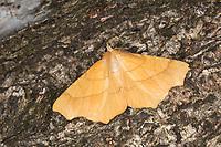 Eichen-Zackenrandspanner, Ennomos quercinaria, August thorn, Pale August Thorn, Spanner, Geometridae, looper, loopers, geometer moths, geometer moth