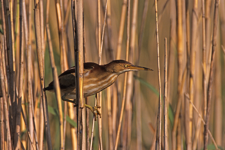A Least Bittern is staring at another Bittern it is pursuing. Location: Anhinga Trail, Everglades, Florida, USA