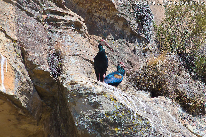 Bald Ibis pair, Lesotho highlands
