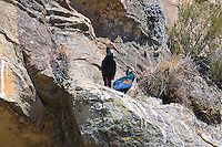 Bald Ibis pair, Lesotho highlands