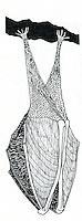 Kleine hoefijzerneus (Rhinolophus hipposideros)
