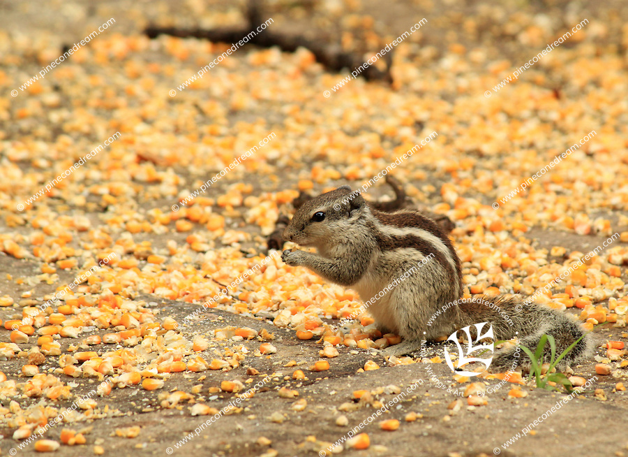 Cute squirrel eating from the pile of sweet corn kernels