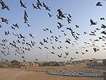 Flock of cranes fly for grains