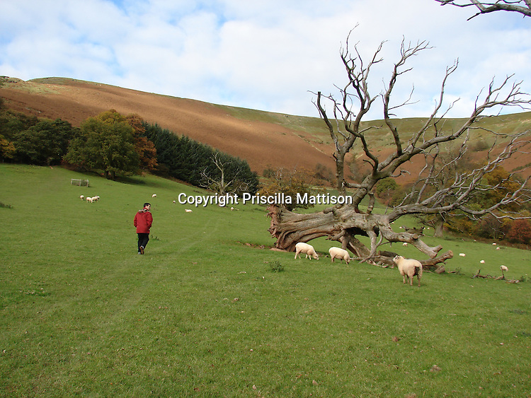 Llanthony, Wales - November 2, 2006:  A man looks at an uprooted tree lying sideways in a sheep meadow.