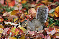 Eastern gray squirrel (Sciurus carolinensis) among fall leaves.