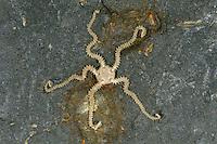Small Brittlestar - Amphipholis squamata