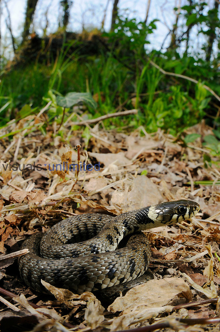 A young Grass or Water Snake (Natrix natrix) basking in a sunny spot in the woods, Italy.