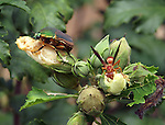 The wilting flowers of the Rose of Sharon attract insects to eat the petals.  A beetle and a wasp are enjoying a snack.
