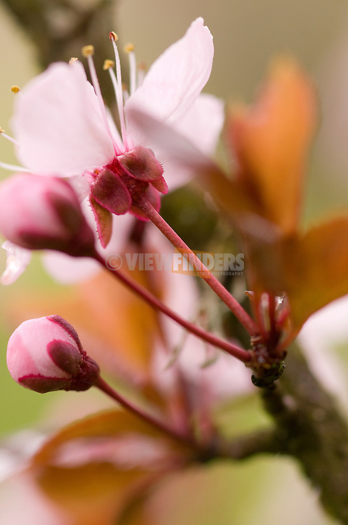 Cherry blossom flowers on tree branch detail