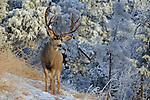 Mule Deer Buck in Snow