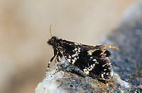 Schwarzer Motten-Sackträger, Sackträger, Narycia duplicella, bagworm, Echte Sackträger, Psychidae, bagworm moths, bagworms, bagmoths