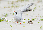 Common Tern (Sterna hirundo), responding with raised wings to another tern flying overhead, two chicks nearby, Long Island, New York, USA