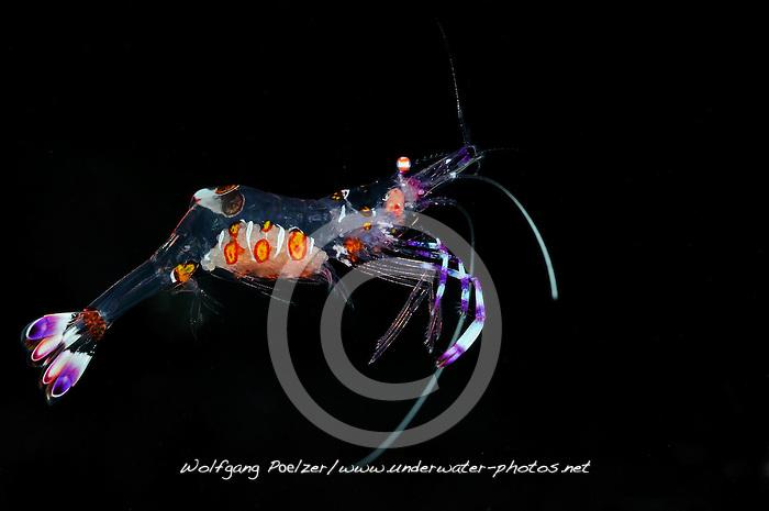 Periclimenes venustus, Pfeffer-und-Salz Partnergarnele mit Eier, Commensal shrimp with eggs, Bali, Indonesien, Indopazifik, Bali, Indonesia Asien, Indo-Pacific Ocean, Asia