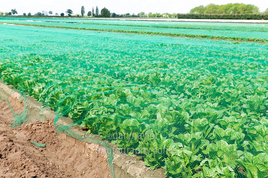 Netting protecting salad crop from birds - Lincolnshire, May