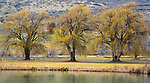 USA, Washington, Columbia River, weeping willows