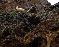 A female Dall sheep.